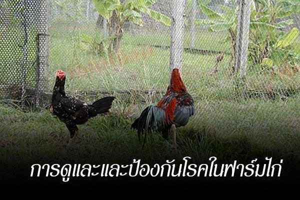 การดูและและป้องกันโรคในฟาร์มไก่